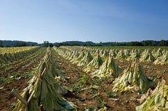 Essiccazione del tabacco di Amish Fotografie Stock