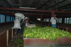 Essiccazione fresca del raccolto del tè sulla fabbrica del tè Immagine Stock