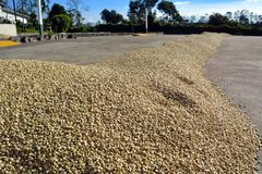 Essiccazione manuale dei chicchi di caff? maturi su una piantagione di caff? in Costa Rica immagini stock