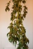 Essiccazione raccolta della pianta di marijuana/curare Immagine Stock
