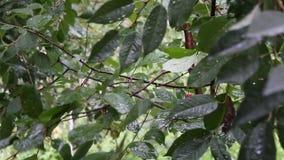 Está chovendo na cereja-árvore video estoque