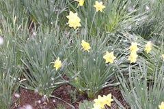 Está nevando e os narcisos amarelos amarelos bonitos permaneceram sob a neve fotos de stock royalty free