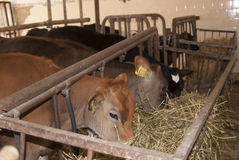 Estábulo das vitelas Foto de Stock Royalty Free