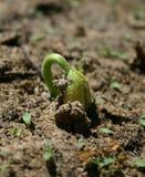 Estágio 1 do sprout de feijão Fotos de Stock