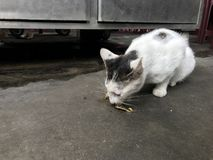 Estática com fome Cat Eating Off The Street fotografia de stock royalty free