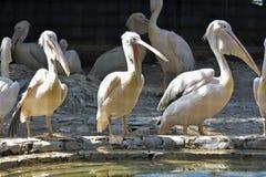 Estão os pelicanos com fome? Foto de Stock
