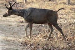 Esté alerta, travesía de camino de los ciervos del sambher fotos de archivo libres de regalías