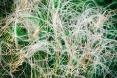 Estípite plumoso con la inflorescencia paniculate blanca, primer Fotos de archivo libres de regalías
