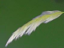 Estípite plumoso de Pampa de la plantilla fotografía de archivo libre de regalías