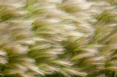 Estípite plumoso, hierba de la estera imagen de archivo