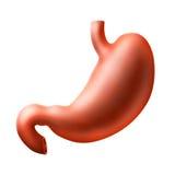 Estómago Foto de archivo libre de regalías