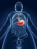 Estómago destacado Imagen de archivo