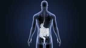 Estómago e intestino humanos con el cuerpo esquelético almacen de video