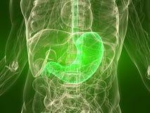 Estómago sano Fotografía de archivo libre de regalías