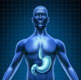 Estómago y digestión humana Fotos de archivo libres de regalías