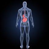 Estómago y intestino delgado con la opinión del trasero de la anatomía stock de ilustración