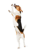 Estúdio disparado do cão do lebreiro que salta contra o fundo branco fotos de stock