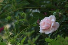 Est allé à la saison de roses Photo libre de droits