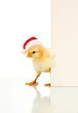 Est il poulet confus de Noël de Pâques déjà - Photo stock