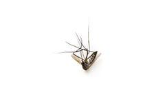 Est mort le moustique, macro sur le fond blanc Photographie stock libre de droits