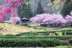 Estação da flor de cerejeira da exploração agrícola de Wuling, Nantou, Taiwan Imagens de Stock Royalty Free