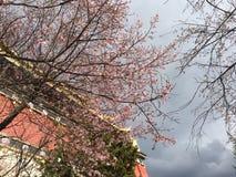 estação da flor de cerejeira no templo Fotografia de Stock Royalty Free