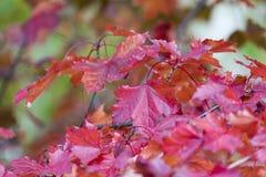 Estação das folhas de outono bonitas Fundo da natureza Fotografia de Stock