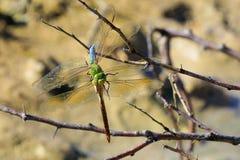 Estação de acoplamento das libélulas Fotografia de Stock