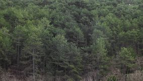 Estação de acoplamento nas andorinhas perto da floresta alta do pinho video estoque