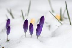 Estação de mola com as flores do açafrão na neve Fotografia de Stock