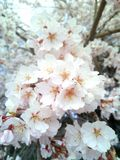 Estação de mola de florescência da flor imagens de stock royalty free