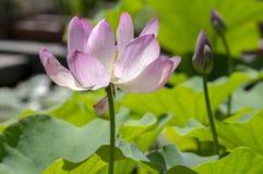 Estação de tratamento de água do nucifera do Nelumbo na flor, flores decorativas de surpresa de florescência fotos de stock