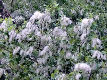 Estação do fluff de florescência do álamo em um ramo do close-up fotos de stock royalty free