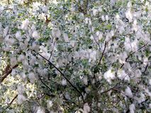 Estação do fluff de florescência do álamo em um ramo do close-up fotos de stock