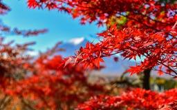 Estação do outono da floresta do bordo em Japão com Mountain View de Fuji Imagens de Stock Royalty Free