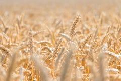 Estação dourada da colheita do trigo Fotografia de Stock Royalty Free