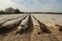 A estação nova no aspargo branco coloca em Alemanha, cov holandês fotografia de stock royalty free