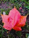 Estação vermelha do outono da folha de bordo Fotos de Stock