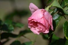 Estações de rosas livres Foto de Stock Royalty Free