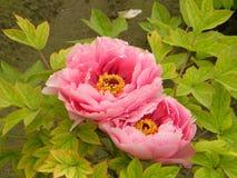 Esta é duas flores da peônia e igualmente a flor nacional de China imagens de stock
