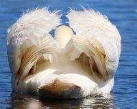 Esta é uma cisne da trombeta do traseiro-revestimento Imagem de Stock
