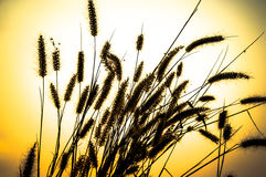 Esta é uma erva daninha, planta seca, inoperante, como algum fundo da natureza Foto de Stock