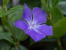 flor Azul-roxa fotografia de stock