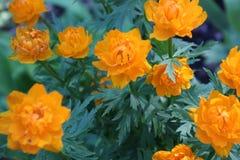Esta flor es rara en nuestros bosques Fotos de archivo