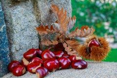 Esta fotografia foi recolhida uma floresta da castanha na província de Salamanca em outubro de 2018 Nele você pode ver muitas cas foto de stock royalty free