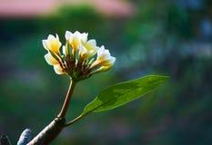 Esta imagem é sobre a flor tailandesa, Banguecoque Tailândia Imagens de Stock Royalty Free