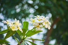 Esta imagem é sobre a flor tailandesa, Banguecoque Tailândia Fotos de Stock
