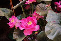 Esta imagem é sobre Lotus, Banguecoque Tailândia Imagens de Stock Royalty Free