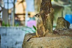 Esta imagem é sobre Meerkat tailandês, Banguecoque Tailândia Fotografia de Stock Royalty Free