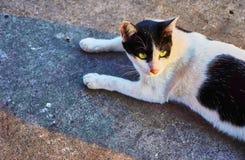 Esta imagem é sobre o gato tailandês, Banguecoque Tailândia Fotos de Stock